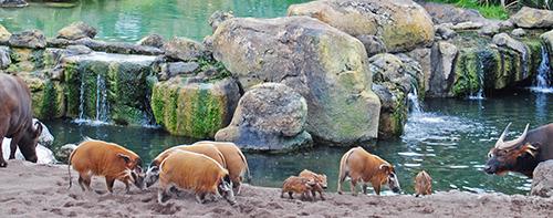 Bioparc_Valencia_-_bosque_ecuatorial_-_potamoqueros_y_bufalos